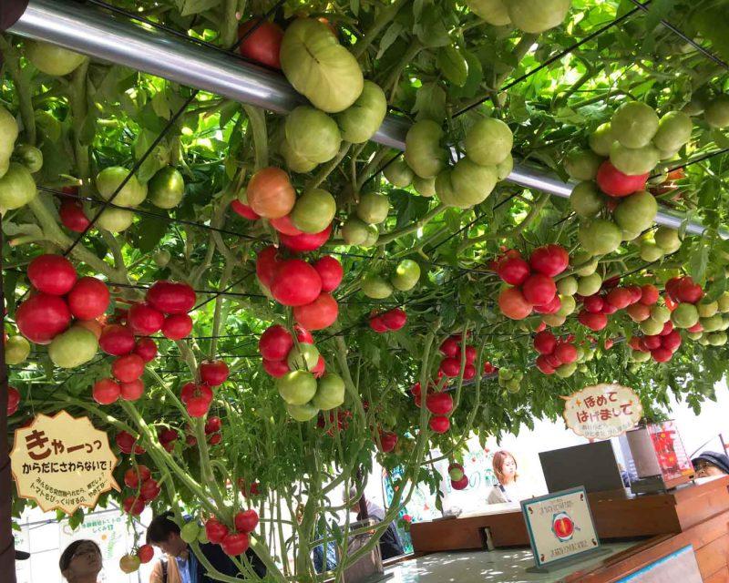 えこりん村のトマト